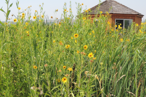 Floating wetland planted with sunflowers
