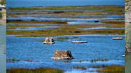 Floating Island Habitat Gives Endangered Bird (Clapper Rail) Hope For Survival